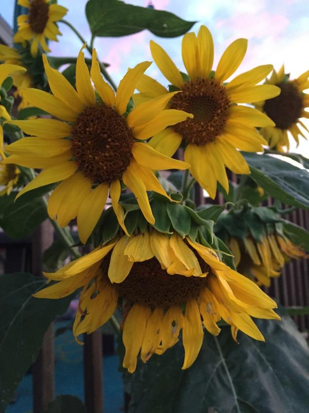 ~Lovely Sunflowers~